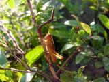 red grass hopper ?