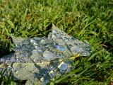 dew drops on maple leaf