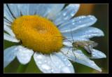 green bug on daisy