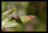 fly on blueberry shrub