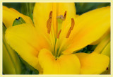 Yellow Asian Lily