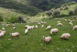 flock of sheep;often to see in Sicily