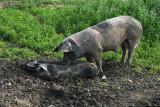 Happy pork in WD