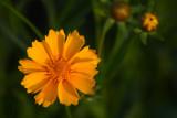 Yellow Daisy Like Flower
