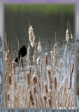 red winged blackbird in spring mood