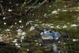 Grenouille dans l'étang