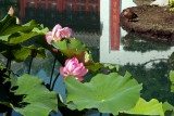 Fleurs de lotus jardin de Chine