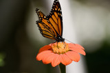 Papillon_Monarch_Butterfly
