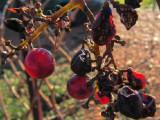 forgotten grapes