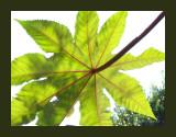 Ricinus communis zanzibariensis