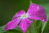 Blossom in Rain