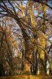 Narol's tree