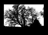 Tree in Lukawiec ,tsc.