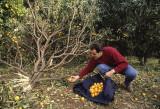 Tangerines on Lokrum