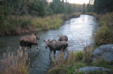 Moose family in Campbell Creek
