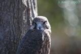 Hawk Falcon hybrid