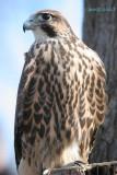 Hawk Falcon hybrid 2