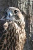 Hawk Falcon hybrid 3