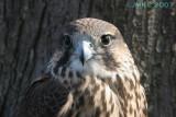 Hawk Falcon hybrid 4