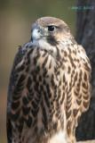 Hawk Falcon Hybrid 5