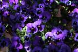 Purple... 3 (Pansies)