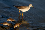 Greater Yellowlegs and Least Sandpipers