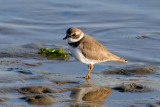 Semipalmated Sandpiper Plover (Thanks, Tom)