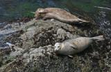 Sleepy Harbor Seals