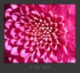 A Fall Mum