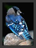 Blue Jay2