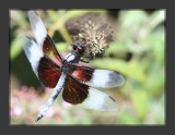 Dragonfly_3