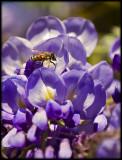 Wisteria and Honey Bee