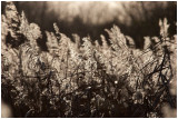 Grasses (in colour as shot)