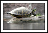 Turtle from water level