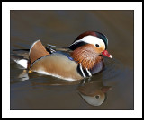 Mandarin duck & reflection