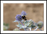 Bumble bee on sea holly