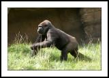 Running gorilla
