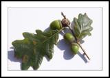 Oak tree twig