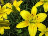 July11_yelloweasterlily.jpg