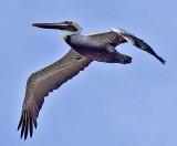 third pelican