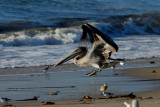 I'm landing here! - Brown Pelican