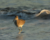 Willet in the Waves