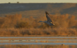 Sandhill Crane returning at Sunset
