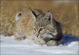 Bobcat Kitten playing in the Snow
