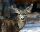 Young Mule Deer Watches Intently.