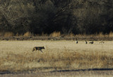 Coyote and Canada Geese