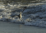 The Willet and the Wave