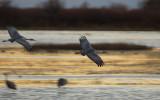 Sandhill Cranes Returning