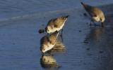 Sanderlings Eating a Sunset Dinner