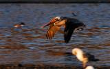 Sunset Light on a returning Pelican